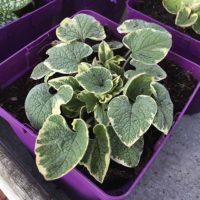 très joli myosotis du Caucase panaché ou Brunnera macrophylla variegata