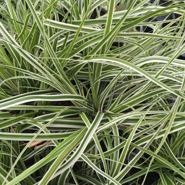 Carex everest, magnifique graminée pour vos jardins. Parfait pour structurer vos plantations.