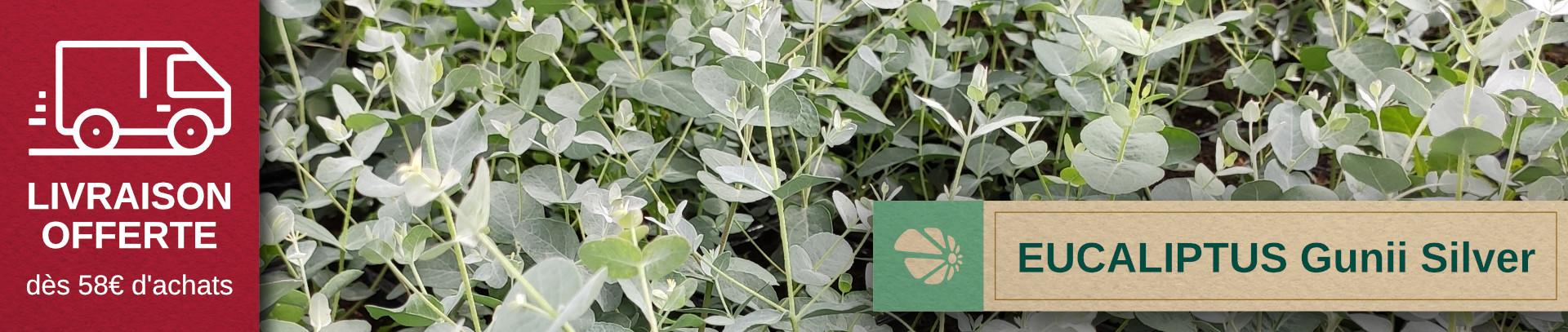 Très bel Eucaliptus gunii silver tropfen à feuillage argenté