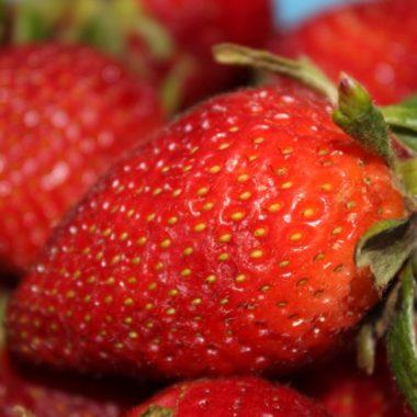 fraisier maestro, une variété remontante au goût et à la productivité exceptionnels !