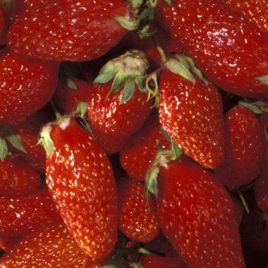 Le fraisier mariguette, la gariguette remontante !