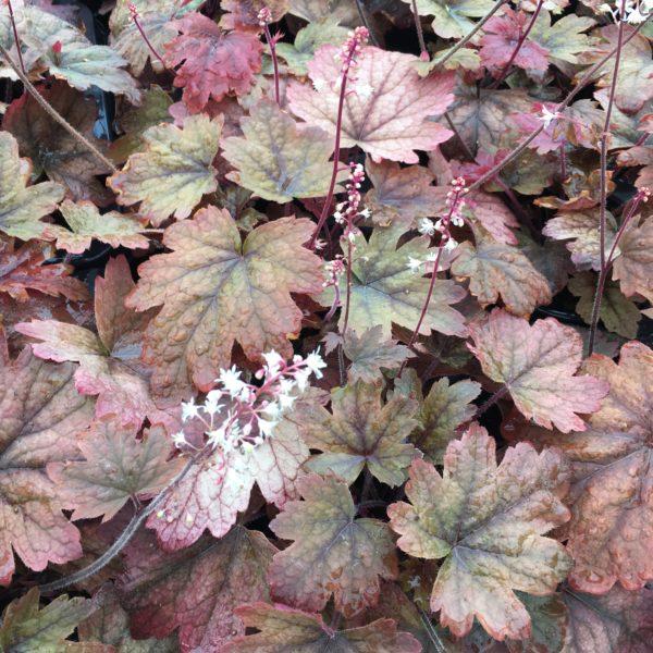Heucherella redstone falls plante vivace aux magnifiques couleurs automnales