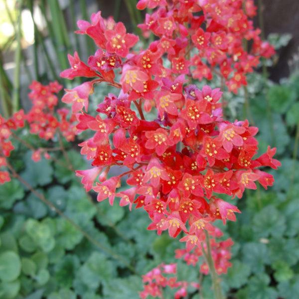 Heuchera sanguinea coral forest, magnifique heuchère à l'abondante floraison rouge.