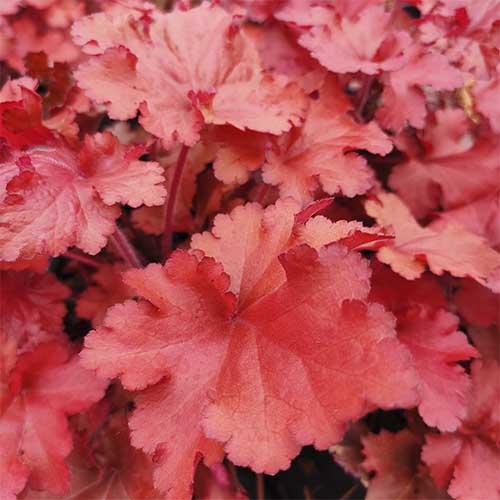 superbe heuchère forever red, pour apporter une touche de rouge dans vos jardin !