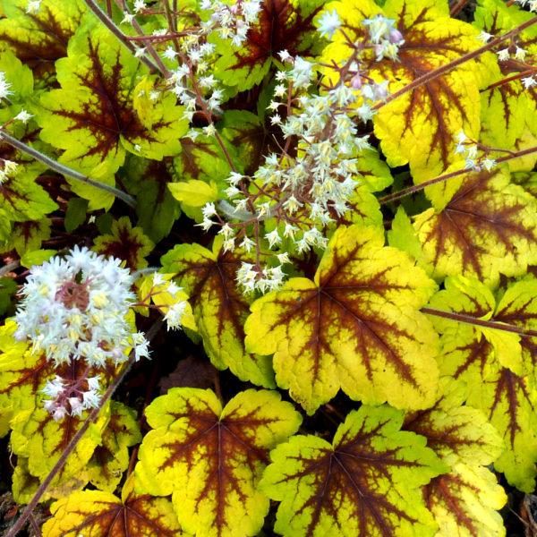 heucherella stoplight aux très belles feuilles tricolores et floraison blanche printanière