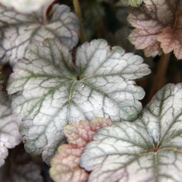 heuchera cinnabar silver et ses superbes feuilles argentés, en bonus une floraison rouge de toute beauté !