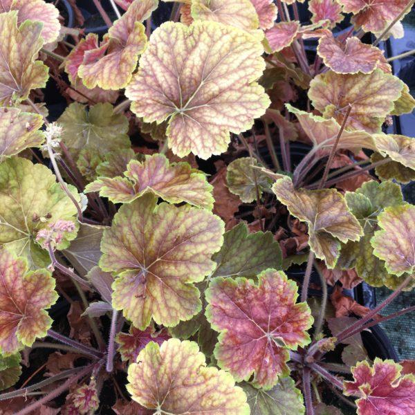 L'heuchera delta dawn vous gratifera des ses magnifiques couleurs variant au fil des saisons