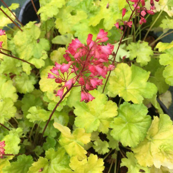 heuchera Little Cuties Sweet au superbe feuillage vert jaune et aux jolies fleurs roses