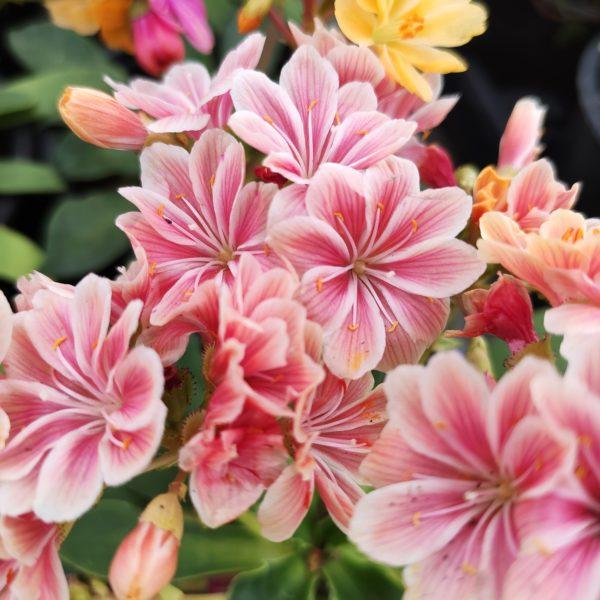 Magnifiques fleurs de Lewisia cotyledon