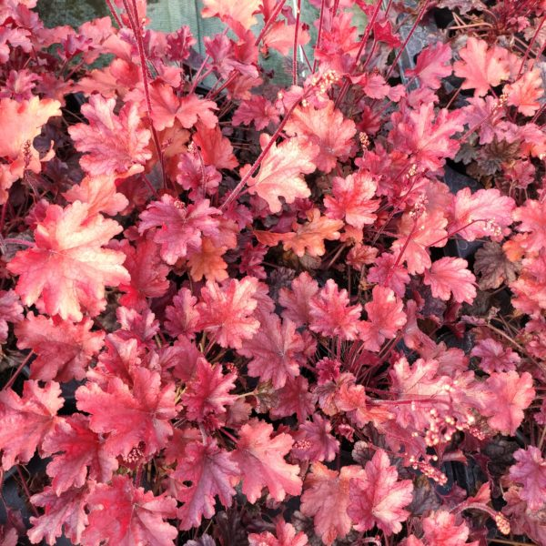 très belle HEUCHERA peach flambé