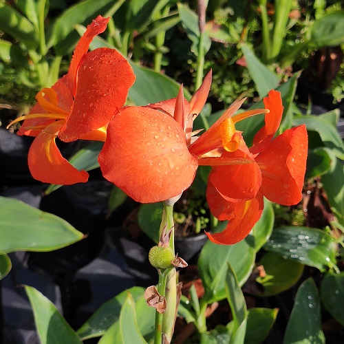canna orange