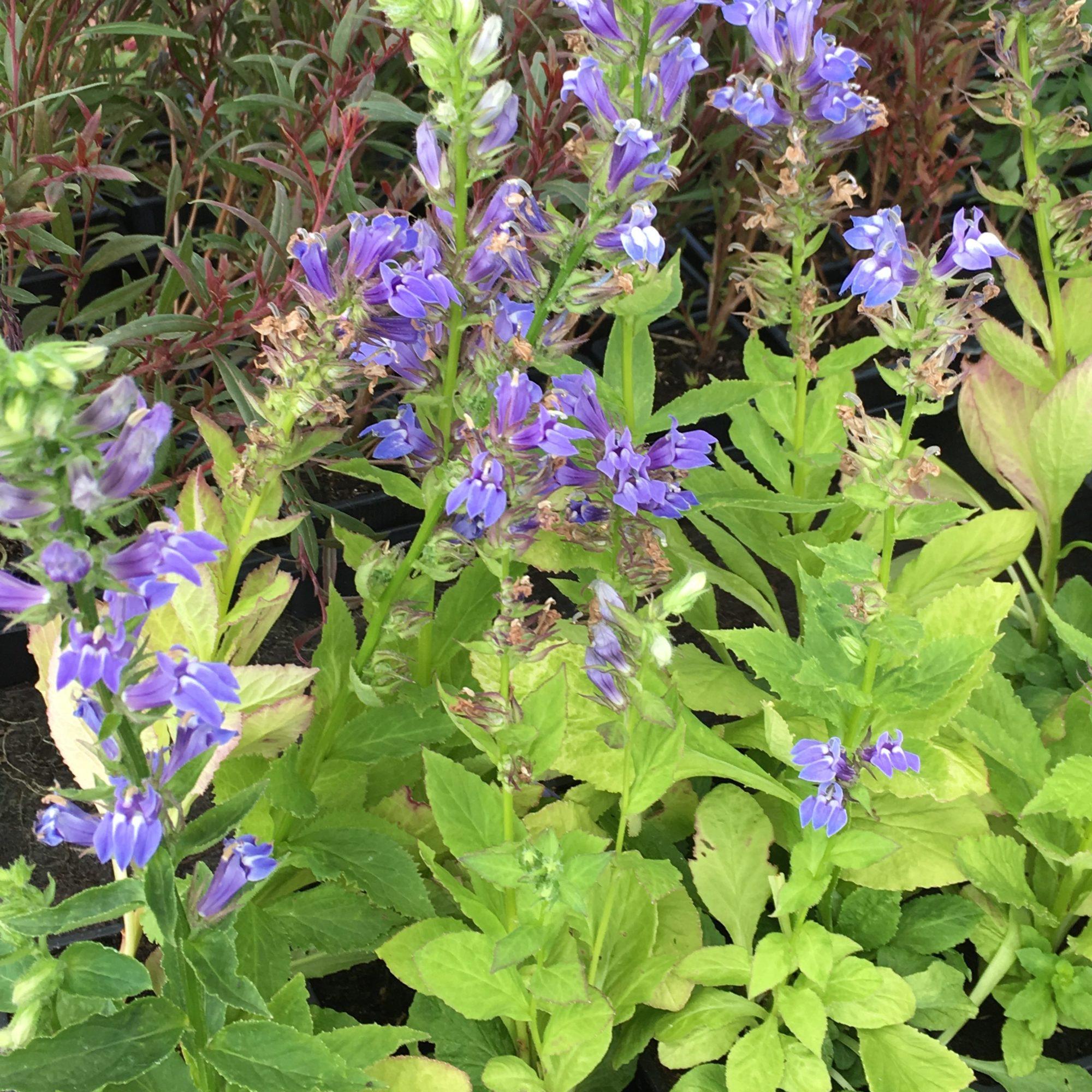 Lobelia Spéciosa Fan Blue Fleurir Son Jardin
