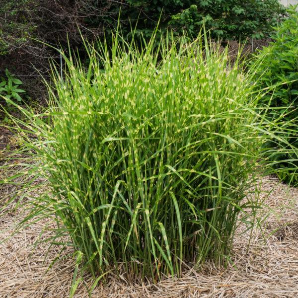 miscanthus sinensis zebrinus est une belle graminées à feuilles zébrées, robuste et très graphique !