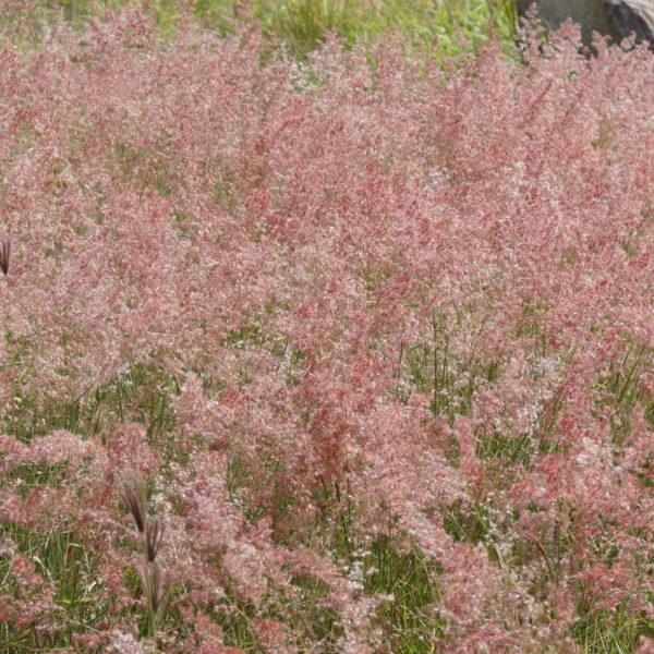 MELI002 MELINIS savannah rose