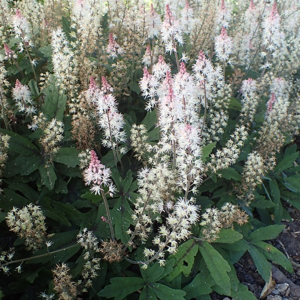 Magnifique Tiarella spring symphony au feuillage découpé et la floraison d'une durée et d'une abondance rare !