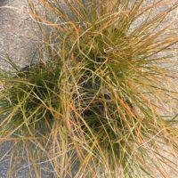 Carex prairie fire