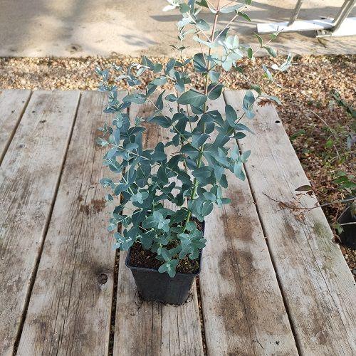 eucalyptus gunii