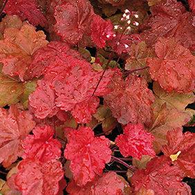 superbe heuchera autumn leaves, ses feuilles changent de couleur toute l'année