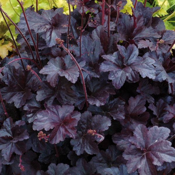 Heuchera obsidian au superbe feuillage violet très foncé