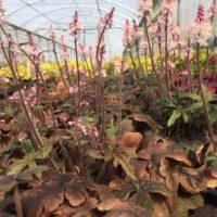 profusion de fleurs de tiarelles