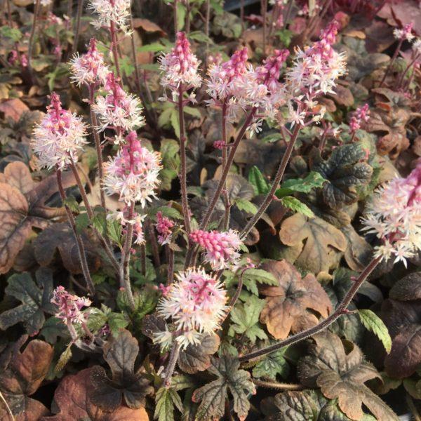superbe tiarella pink torch en fleurs