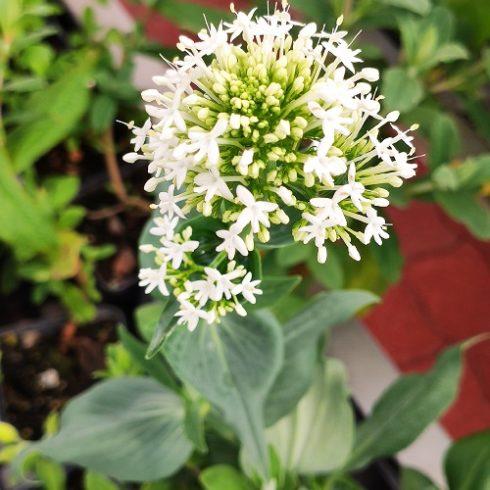 valeriane des jardins 'albus' blanche